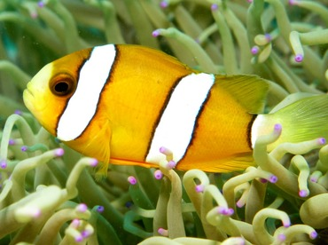 Clark's Anemonefish - Amphiprion clarkii - Dumaguete, Philippines