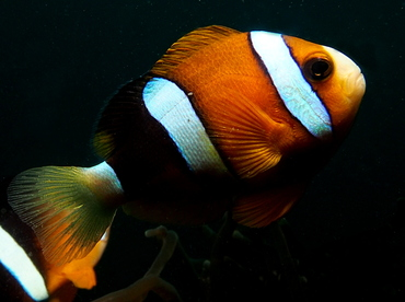 Clark's Anemonefish - Amphiprion clarkii - Lembeh Strait, Indonesia