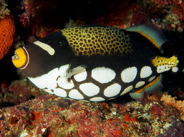 Clown Triggerfish   Clown Triggerfish Balistoides Conspicillum Triggerfishes