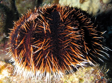 Collector Urchin - Tripneustes gratilla - Kona Coast, Hawaii