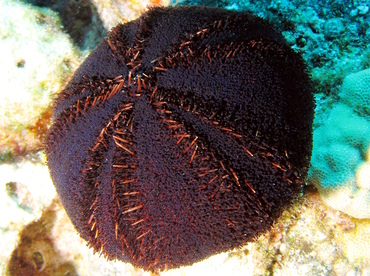 Collector Urchin - Tripneustes gratilla - Big Island, Hawaii