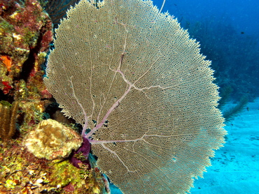 Common Sea Fan - Gorgonia ventalina - Belize