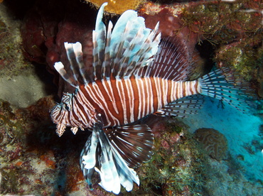 Red Lionfish - Pterois volitans - Turks and Caicos