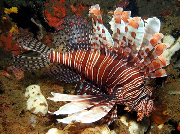 Red Lionfish - Pterois volitans - Lembeh Strait, Indonesia