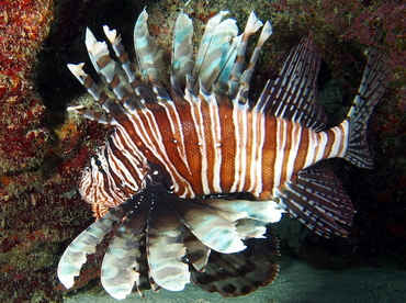 Red Lionfish - Pterois volitans - The Exumas, Bahamas