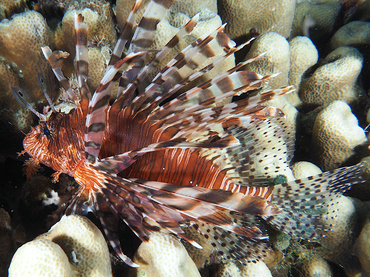 Red Lionfish - Pterois volitans - Great Barrier Reef, Australia