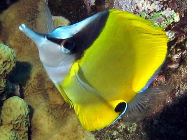 Longnose Butterflyfish - Forcipiger flavissimus - Lanai, Hawaii