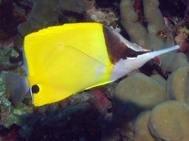 Longnose Butterflyfish - Forcipiger flavissimus - Kona Coast, Hawaii