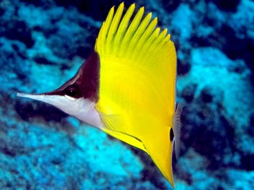 Longnose Butterflyfish - Forcipiger flavissimus - Yap, Micronesia