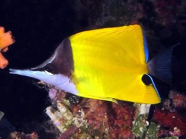 Longnose Butterflyfish - Forcipiger flavissimus - Palau