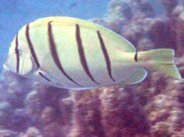 Convict Tang - Acanthurus triostegus - Kona Coast, Hawaii