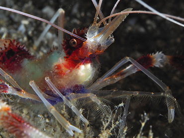 Banded Coral Shrimp - Stenopus hispidus - Blue Heron Bridge, Florida