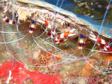 Banded Coral Shrimp - Stenopus hispidus - Turks and Caicos