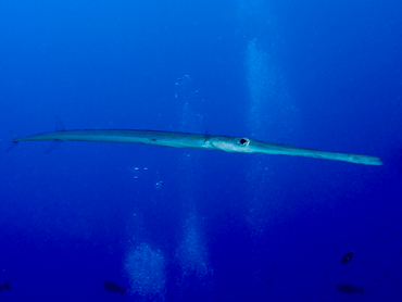 Bluespotted Cornetfish - Fistularia commersonii - Great Barrier Reef, Australia
