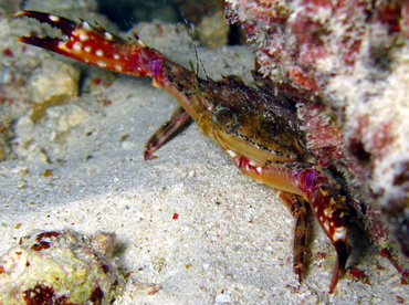 Blackpoint Sculling Crab - Cronious ruber - Belize