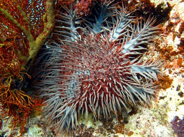 Crown-Of-Thorns - Acanthaster planci - Palau