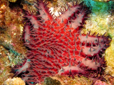 Crown-Of-Thorns - Acanthaster planci - Lanai, Hawaii