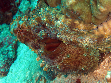 Day Octopus - Octopus cyanea - Wakatobi, Indonesia