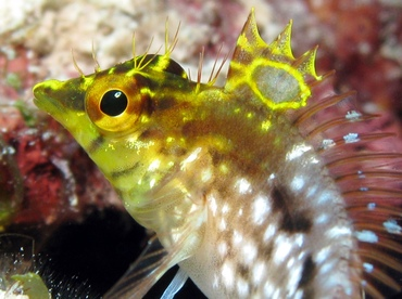 Diamond Blenny - Malacoctenus boehlkei - Grand Cayman