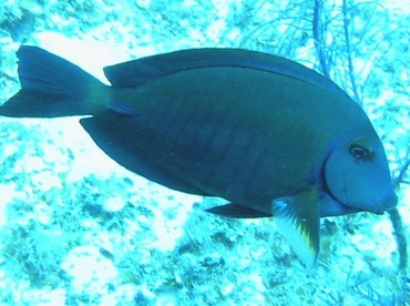 Doctorfish - Acanthurus chirurgus - Little Cayman