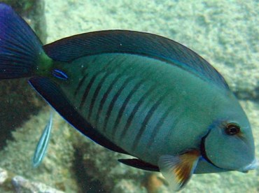 Doctorfish - Acanthurus chirurgus - Key Largo, Florida