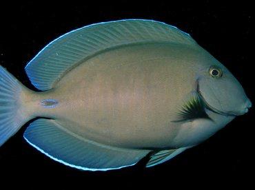 Doctorfish - Acanthurus chirurgus - Aruba