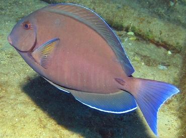 Doctorfish - Acanthurus chirurgus - Nassau, Bahamas