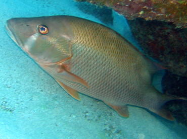 Dog Snapper - Lutjanus jocu - Key Largo, Florida