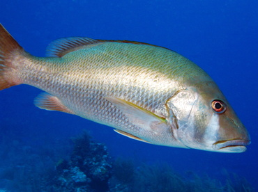 Dog Snapper - Lutjanus jocu - Belize