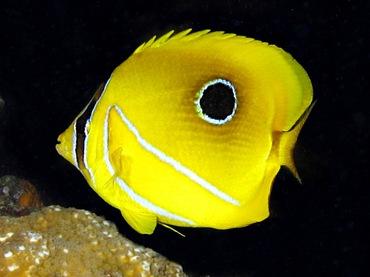 Eclipse Butterflyfish - Chaetodon bennetti - Palau