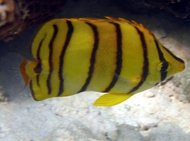 Eight-Banded Butterflyfish - Chaetodon octofasciatus - Palau