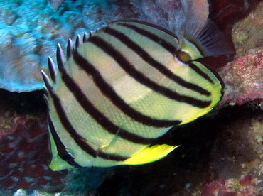 Eight-Banded Butterflyfish - Chaetodon octofasciatus - Dumaguete, Philippines