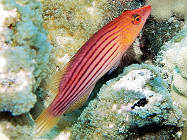 Eightstripe Wrasse - Pseudocheilinus octotaenia - Big Island, Hawaii