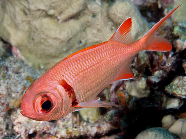 Epaulette Soldierfish - Myripristis kuntee - Great Barrier Reef, Australia
