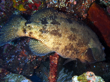 Brown-Marbled Grouper - Epinephelus fuscoguttatus - Bali, Indonesia