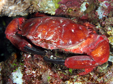 Splendid Pebble Crab - Etisus splendidus - Fiji