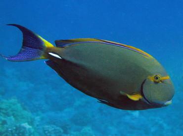 Eyestripe Surgeonfish - Acanthurus dussumieri - Kona Coast, Hawaii