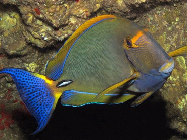 Eyestripe Surgeonfish - Acanthurus dussumieri - Lanai, Hawaii