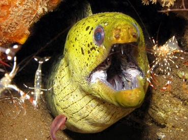 Fimbriated Moray Eel - Gymnothorax fimbriatus - Dumaguete, Philippines