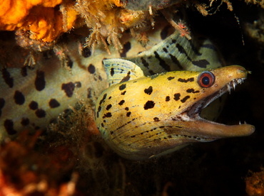 Fimbriated Moray Eel - Gymnothorax fimbriatus - Bali, Indonesia