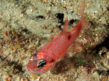 Flamefish - Apogon maculatus - Palm Beach, Florida