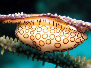 Flamingo Tongue - Cyphoma gibbosum - Bonaire