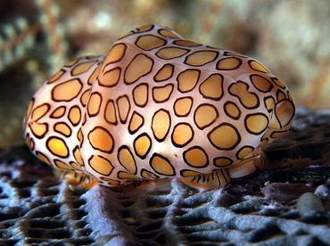 Flamingo Tongue - Cyphoma gibbosum - Palm Beach, Florida