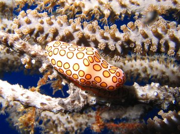Flamingo Tongue - Cyphoma gibbosum - Turks and Caicos