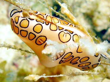 Flamingo Tongue - Cyphoma gibbosum - St Thomas, USVI