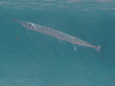 Flat Needlefish - Ablennes hians - St Kitts