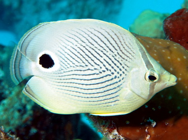 Foureye Butterflyfish - Chaetodon capistratus - Turks and Caicos
