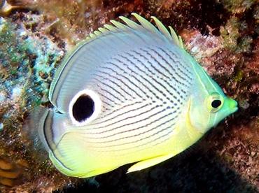 Foureye Butterflyfish - Chaetodon capistratus - Nassau, Bahamas