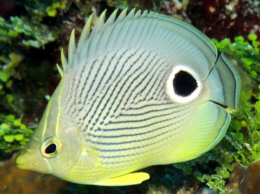 Foureye Butterflyfish - Chaetodon capistratus - Cozumel, Mexico