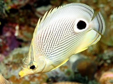 Foureye Butterflyfish - Chaetodon capistratus - Belize